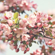 Stock Photo: Pink apple blossoms