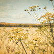 Late summer field of wild dill - Foto de Stock