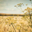 Late summer field of wild dill - Stock Photo