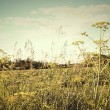 Field of wild dill in the afternoon sun - Stock Photo