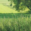 Summer fields of green - Stock Photo