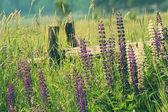 Campo de flores lupinos — Foto de Stock