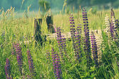 Field of lupine flowers — Stock Photo