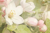 Closeup of apple blossoms in early — Stok fotoğraf