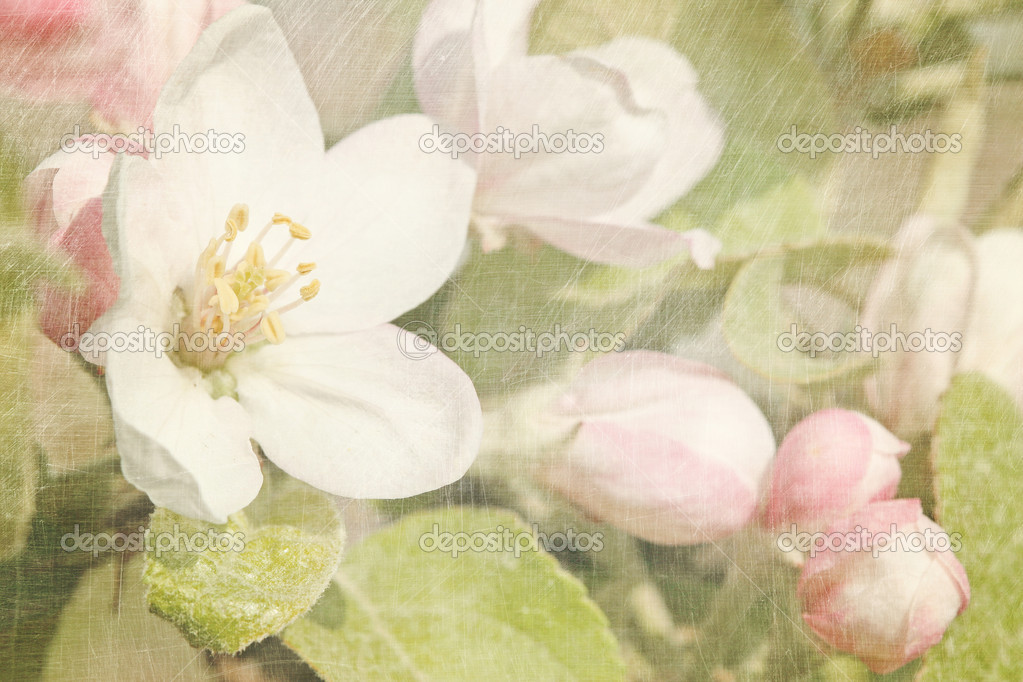 Closeup of apple blossoms in early — Stok fotoğraf #5345630