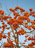 Mountain ash — Stockfoto