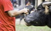 Arriero y su búfalo — Foto de Stock