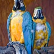 Blue and Yellow Macaw — Stock Photo #4515249