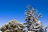 Árvores nevadas no céu azul — Fotografia Stock