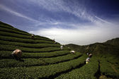 Ba Gua Tea garden in mid of Taiwan — Stock Photo