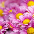 Colorful chrysathemum - Foto de Stock