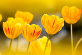 Tulip with nice back ground color — Stock Photo