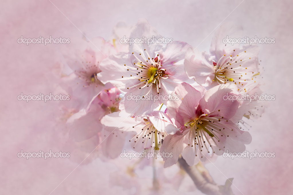 Cherry blossom with nice background color — Stock Photo ...