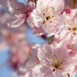 Cherry blossom isolate with sky blue color — Stock Photo