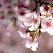 Cherry blossom — Stock Photo #5190825
