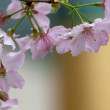 Cherry blossom — Stock Photo #5190966