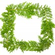 Green juniper frame — Stock Photo