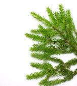 Green spruce branch — Stockfoto