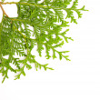 Green juniper branch — Stock Photo