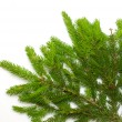 Green spruce branch — Stock Photo #4234321