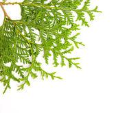 Green juniper branch — Stock Photo