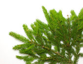 Green spruce branch — Stock Photo