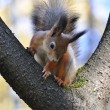 Red squirrel. — Stock Photo