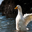 Duck on lake 2 — Stock Photo