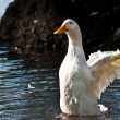 Duck on lake 2 — Stock Photo #4058645
