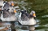 Geese on lake — Stock Photo