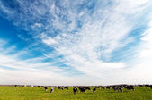 Cows graze in the meadow — Stock Photo