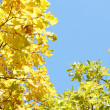 Gold leaf  oak autumn — Stock Photo