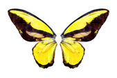 Yelow brilliant butterfly — Stock Photo