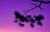 Sagoma albero con cielo al crepuscolo — Foto Stock