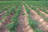 Cassava farm — Stock Photo
