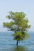 Tree in the water, Flood crisis — Stock Photo