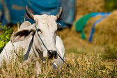 Cow in the farm — Stock Photo