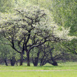 Trees in spring time — Stock Photo