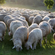 Flock of Sheep in Taunus mountains — Stock Photo #4030051