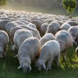 Flock of Sheep in the Taunus mountains — Stock Photo #4030051