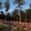 Foxglove plants in a forest clearing - Stock Photo