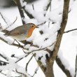 Stock Photo: Robin in the snow
