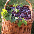 Basket of Plums — Stock Photo #4536054