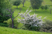 Orchard in spring time — Stock Photo