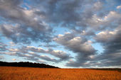Cornfield under the evening sky — Stock Photo