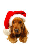 Christmas puppy with Santa hat — Stock Photo