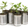 Chilli plants in tin pots — Stock Photo