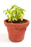Fresh Basil in pot — Stock Photo
