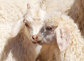 Angora kids — Stock Photo