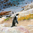 Jackass penguin standing on a rock — Stock Photo